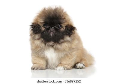 Funny Pekingese puppy posing on white background
