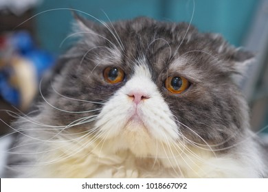 Funny Persian cat color white and gray.