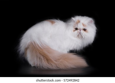 Funny Persian cat in studio isolated