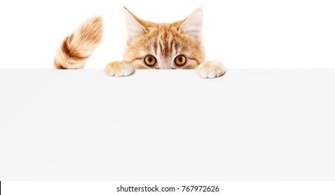 lustige Hauskatze mit Plakat einzeln auf weißem Hintergrund, leere Webbanner-Vorlage und Kopienraum