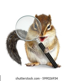 Funny pet chipmunk searching with magnifying glass, onm white