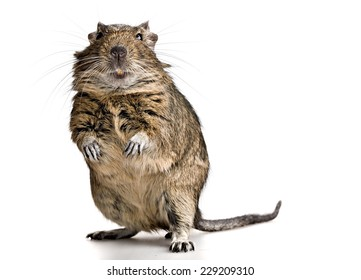 funny pet degu mouse with yellow teeth standing lake a gopher isolated on white background