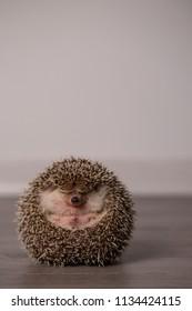 Funny pet - hedgehog