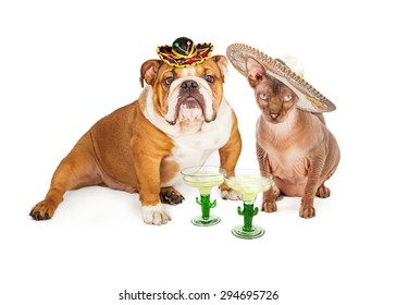 Funny photo of an American Bulldog breed dog and a hairless cat wearing sombreros with margaritas celebrating Cinco De Mayo