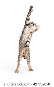 Funny photo of cute little tabby kitten standing tall on hind legs reaching one paw up