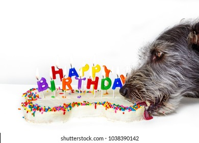 Funny photo of dog eating bone shaped birthday cake with lit candles
