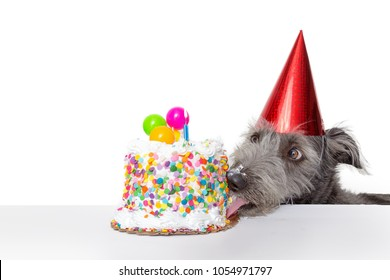 Funny photo of a dog wearing a party hat while licking the frosting off of a birthday cake