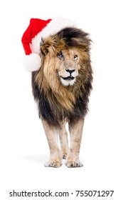 Funny photo of famous African lion Scar isolated on white wearing Christmas Santa Claus Hat