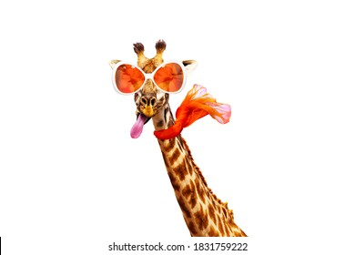 Funny photo of giraffe in orange sunglasses and scarf isolated on white