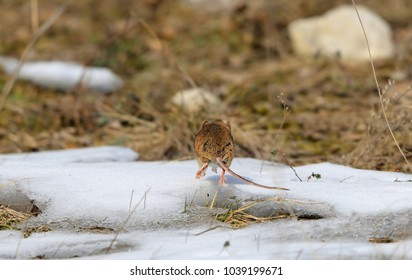 Funny photo - Goodbye to everyone! Close-up photo of a leaving mouse in a dynamic pose in the snow. Apodemus microps, also incorrectly called Apodemus uralensis cimrmani. Czech, Palava Hills, 2018.