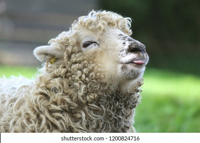 Funny photo of Greyface Dartmoor lamb with tongue out , a rare breed of domestic sheep originating around Dartmoor in south west England.