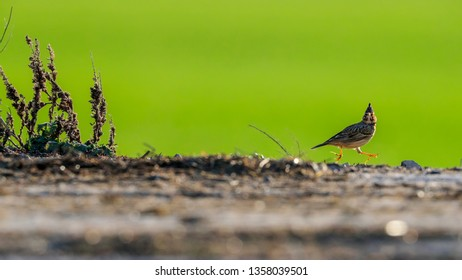 Funny photo. Little crested lark jumps cheerfully in front of the camera. Colorful background and backlight. Crested lark, Galerida cristata, Czech Republic.