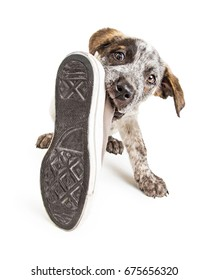 Funny photo of a naughty young puppy dog stealing an old dirty shoe to chew on it