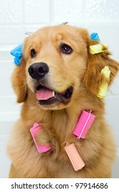 A funny photograph of a golden retriever dog sitting in a bath tub with colorful hair curlers attached to his long coat of fur.