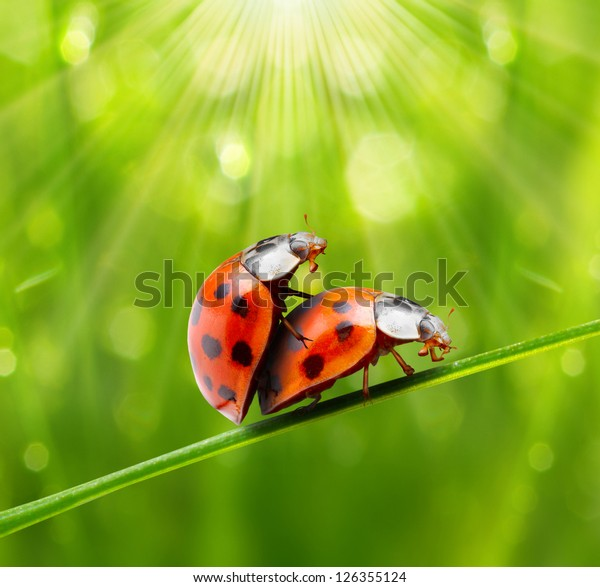 Funny picture of a love making ladybugs couple. Valentine background.