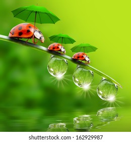 Funny picture from nature. Little ladybugs with umbrella enjoying life.