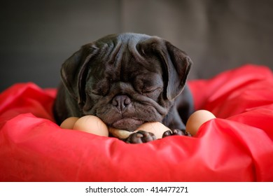 Funny picture , Pug dog give birth eggs on red pad. (Pug dog laying with eggs on red pad.)