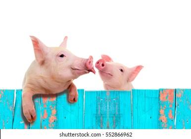 Sonniges Schwein hängt an einem Zaun. Studioaufnahme. Einzeln auf weißem Hintergrund.