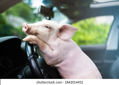 Funny pig hanging its paws on the wheel of a car. Driving pig.