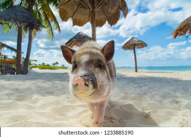 Funny pig on the beach