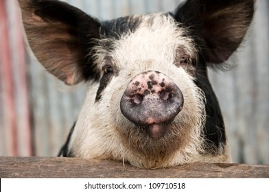 Funny pig with sarcastic look on its face