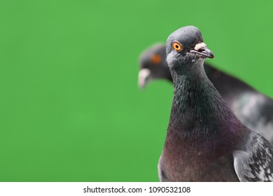 Funny Pigeons isolated on green background.
