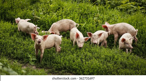 Funny pigs playing on the grass