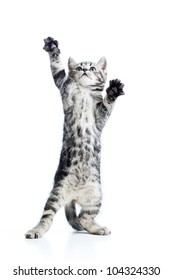 funny playful cat is standing