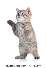 funny playful cat is standing isolated on white background.