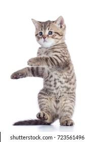 cat standing images stock photos  vectors  shutterstock