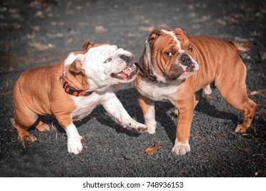 Funny and playful couple of English bulldogs,selective focus and blurred motion