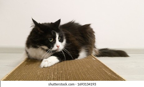 Funny playful furry cat with a mad look. A black-and-white cat is lying on a cardboard scratchpad with the scent of Catnip. A funny frame. A truly healthy pet.