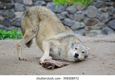 Funny playful wolf rolling on the ground