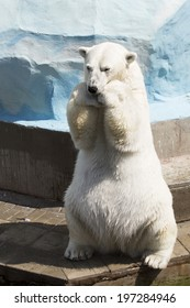 Funny polar bear sitting on its hind legs (begging delicacy).
