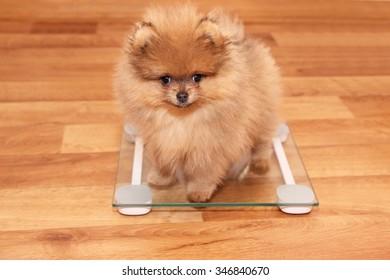 Funny pomeranian spitz puppy. Pomeranian dog. Little puppy.