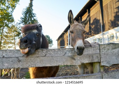 Funny Pony and Donkey looking over there fence of there paddock together