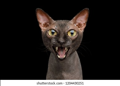 Funny Portrait of Angry Sphynx Cat Gazing and Meow, Isolated on Black Background, front view