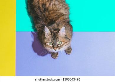Funny portrait of cat head over heels on color blocks background. Minimalism