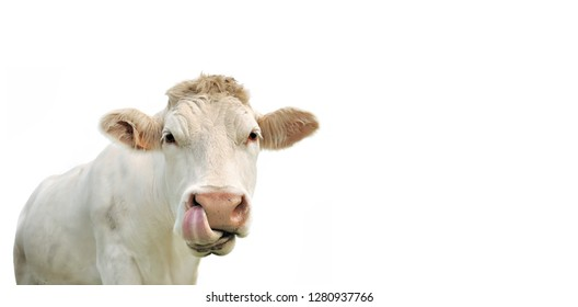 funny portrait of a cow isolated on white in panoramic size