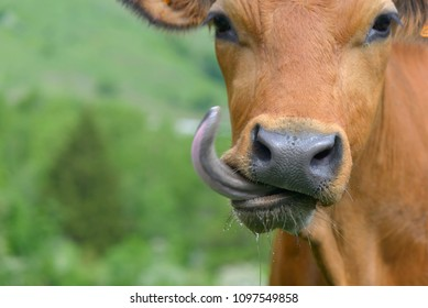 funny portrait of a cow sticking out the tongue