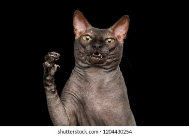 Funny Portrait of Curious Sphynx Cat, Hold Paw with amazement face, Looks Nasty, Isolated on Black Background, front view