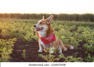 funny portrait of cute corgi dog outdoors in summer fields