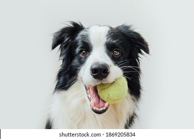 Funny portrait of cute puppy dog border collie holding toy ball in mouth isolated on white background. Purebred pet dog with tennis ball wants to playing with owner. Pet activity and animals concept