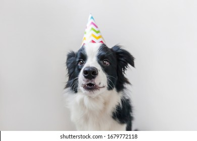 Funny portrait of cute smilling puppy dog border collie wearing birthday silly hat looking at camera isolated on white background. Happy Birthday party concept. Funny pets animals life