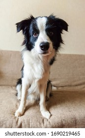 Funny portrait of cute smilling puppy dog border collie on couch. New lovely member of family little dog at home gazing and waiting for reward. Pet care and animals concept