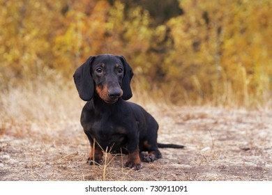 funny portrait of a dog (puppy) breed dachshund black tan,  in the green forest in the autumn park