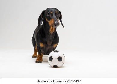 funny portrait of a dog (puppy) breed dachshund black tan,  with soccer (football) ball  on gray background