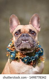 Funny portrait of a female brown French Bulldog dog showing smile with overbite wearing a selfmade bue floral collar in front of blurry background