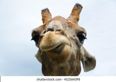 Funny portrait of a Giraffe. Close up