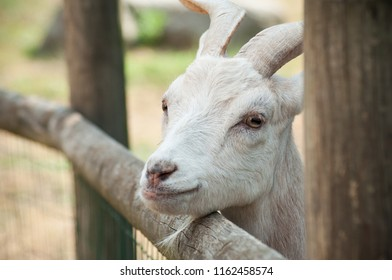 funny portrait of goat behind a wooden fence
